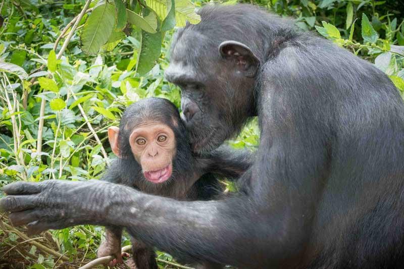 Ape Action - Embrace